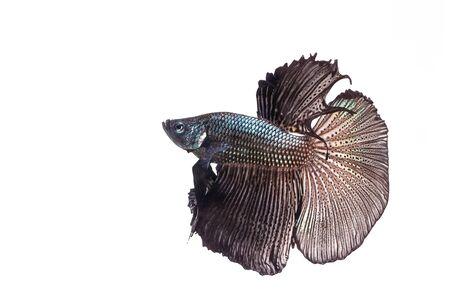 freshwater aquarium fish: Betta, Siamese Fighting Fish on white background