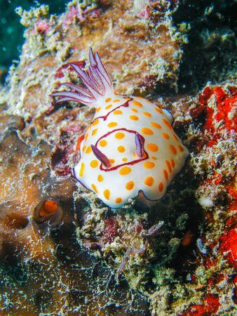 sea slug: Underwater picture of Chromodoris annulata Nudibranch, Sea Slug Stock Photo