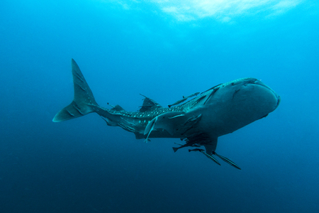 Zwemmende Walvishaai (Rhincodon typus) de grootste vis in het dierenrijk Stockfoto