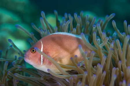 Foto submarina de Pink Skunk Clownfish (Amphiprion perideraion)