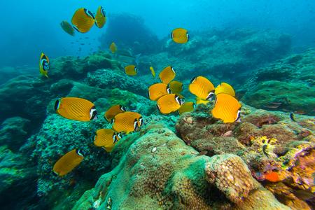 School of Weibles Butterflyfish (Chaetodontidae weibeli) fish in the coral reef