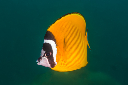 Weibles Butterflyfish (Chaetodontidae weibeli) fish in the coral reef