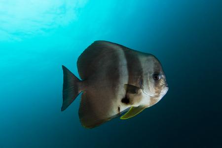 platax: School of Teira Batfish (Platax teira) in the blue ocean
