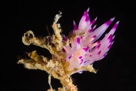 Underwater picture of Flabellina rubrolineata Nudibranch, Sea Slug