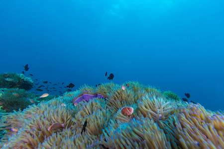 underwater scape of sea anemone and coral reef direct to the sun Stock Photo