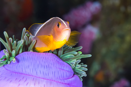 skunk: Underwater picture of Pink Skunk Clownfish (Amphiprion perideraion)