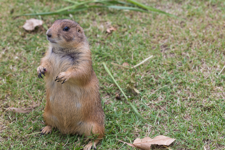 The Prairie dog standing on the grass