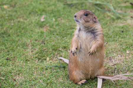 The Prairie dog on the grass field