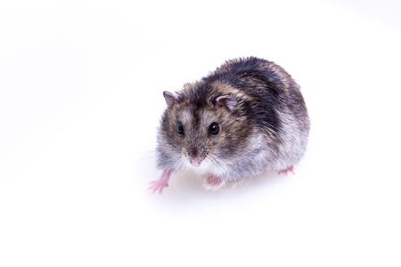 Normale kleur van Winter White Hamster op witte achtergrond