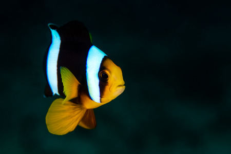 The Clark's Anemonefish in the coral reef of Thailand's sea