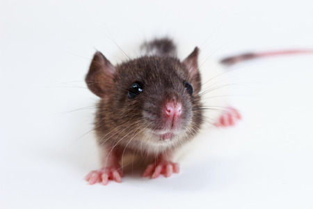 The Brown lab rat on white background