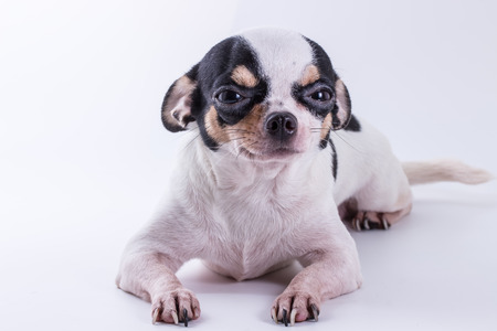 The Chihuahua puppy dog, cute dog on white background 스톡 콘텐츠