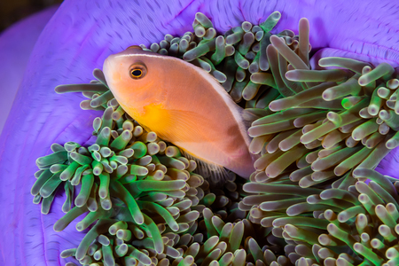 Skunk Anemonefish (Amphiprion ephippium) Clownfish in Magnificent Anemone Stock Photo