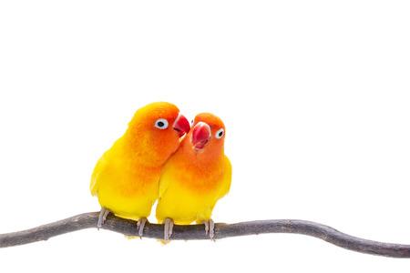 Der Double Yellow Lovebird steht auf einem Stück Holz auf weißem Hintergrund