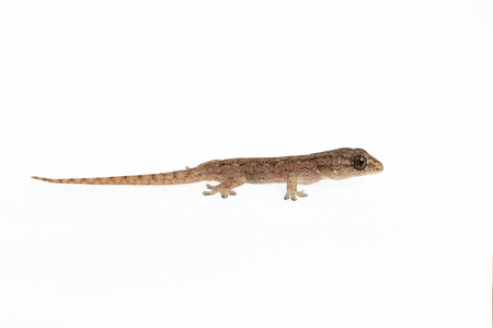 The small Comon House Gecko on white background