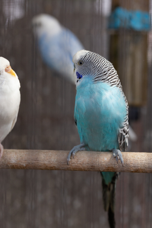 Group of Fancy color Budgerigar in the cage
