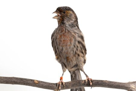 The House Finch (Haemorhous mexicanus) bird on white background