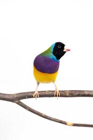 Colorful Gouldian finch Bird (Erythrura gouldiae) on white background