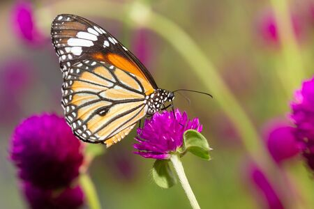 Common Tiger butterfly on the flower Stock Photo