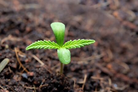 The Cannabis plant, Ganja in the flowerpot