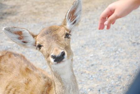 tame: Deer, who was raised as tame as to capture the Safari World Bangkok. Stock Photo