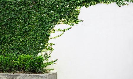 Pared blanca planta de hiedra verde. Foto de archivo - 32380968