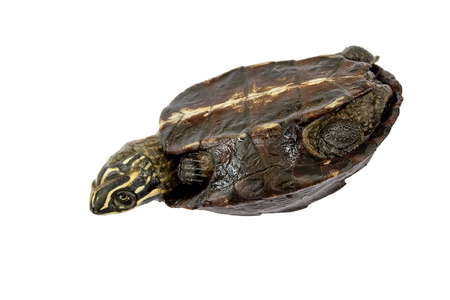 turn over: Turtle Turtle upside down, trying to turn over. Stock Photo