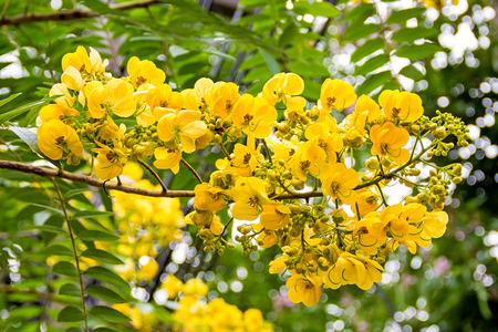 fistula: yellow flower of cassia fistula tree