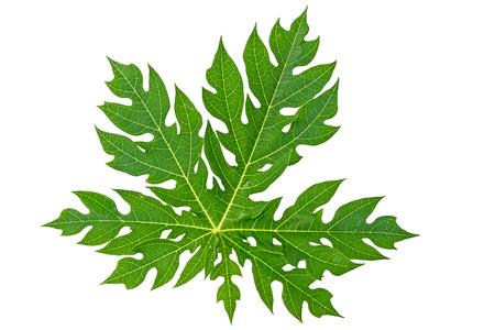 Papaya leaf isolated on white. Imagens