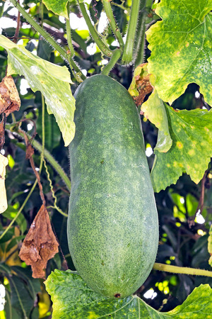 ash gourd: Gourd Drink hanging on the tree