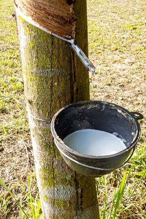 tapping: Toccando linfa dell'albero della gomma