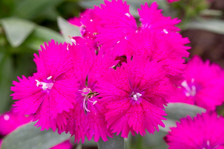dianthus: Dianthus Chinensis Flowers in the garden.