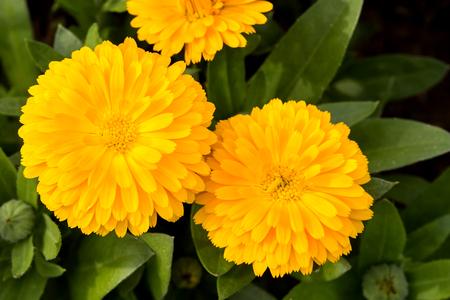 officinalis: Marigold flower macro (calendula officinalis)