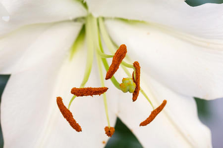 angiosperms: Closeup of anthers with pollen grains of Madonna lily