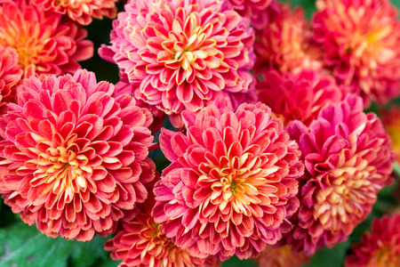 赤のガーデン ダリアの花の美しい 写真素材