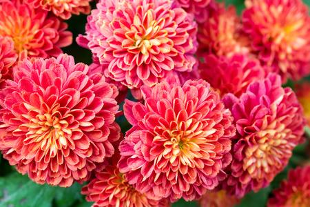 dahlia: Hermoso de flor roja del jardín de la dalia