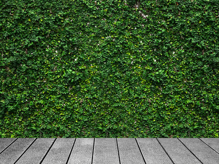 Wooden board the White wall green ivy plant.
