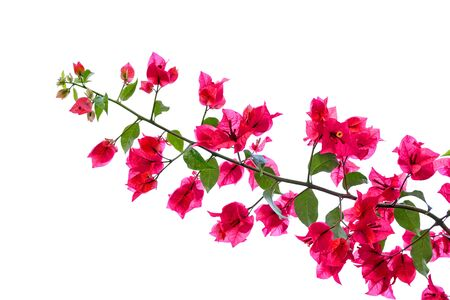 bougainvilleas: red blooming bougainvilleas on white background isolated Stock Photo