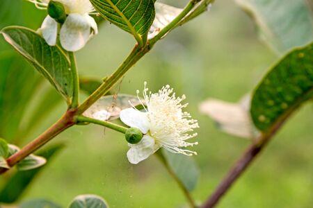 guayaba: Flor de la guayaba