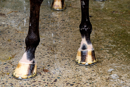 hoof: The horse poses for a hoof shot. Stock Photo