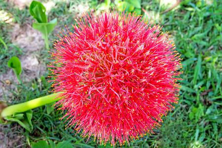 powder puff: Blood flower Powder puff lily closeup Stock Photo