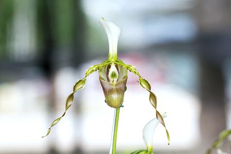 slipper: ladys slipper orchid Paphiopedilum