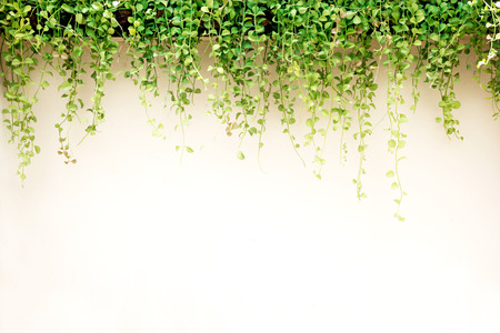 White wall green ivy plant.
