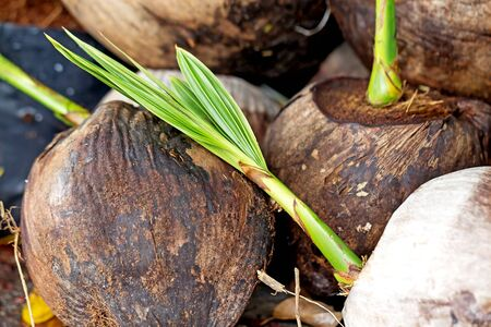 coconut seedlings: coconut seedlings ready for planting