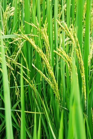 field of thai: Paddy rice Stock Photo