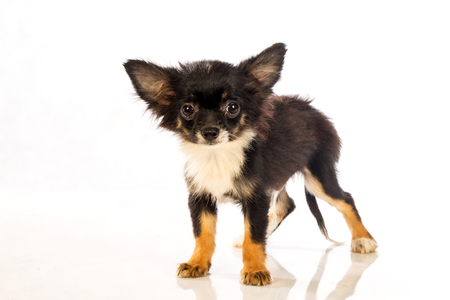 plan �loign�: Chihuahua isolated on white background