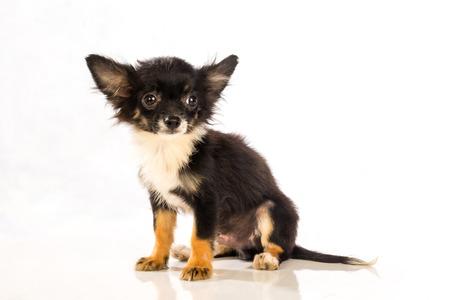 plan éloigné: Chihuahua isolé sur fond blanc Banque d'images
