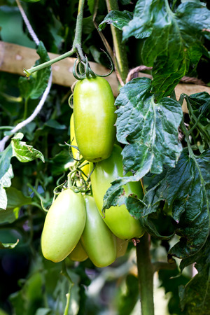 environmentalism: Tomatoes in the garden Stock Photo