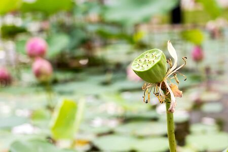 lotus seeds: Lotus seeds Stock Photo