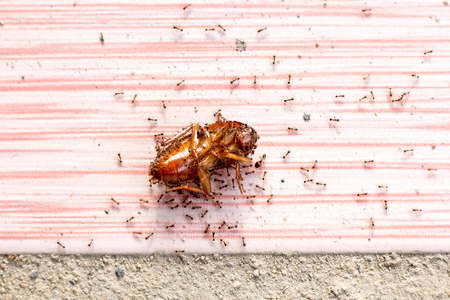 fight hunger: it is red ants kill one cockroach on floor,Selected focus